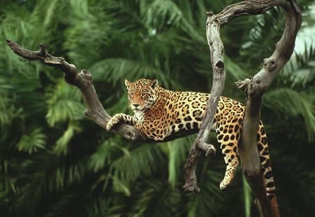 Madidi Natonal Park Jaguar